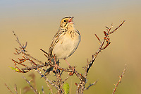 The decling Baird's Sparrow is a tall grass dependent species of the northern prairies. Alberta, Canada.