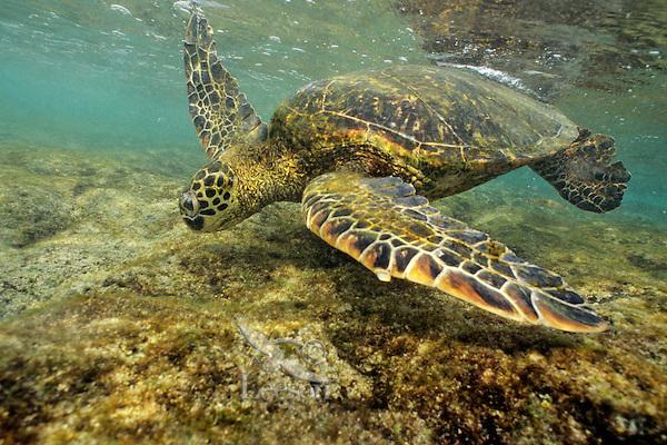 Green Sea Turtle (Chelonia mydas) feeding on algae underwater.  Hawaii.