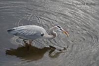 0111-0902  Great Blue Heron Hunting for Prey Striking Water, Ardea herodias © David Kuhn/Dwight Kuhn Photography