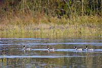 Northern Pintail (Anas acuta) ducks.  Pacific Northwest.  Winter.