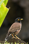 Taveuni, Fiji; a Common Myna (Acridotheres tristis) bird standing on the lava rock near the water's edge