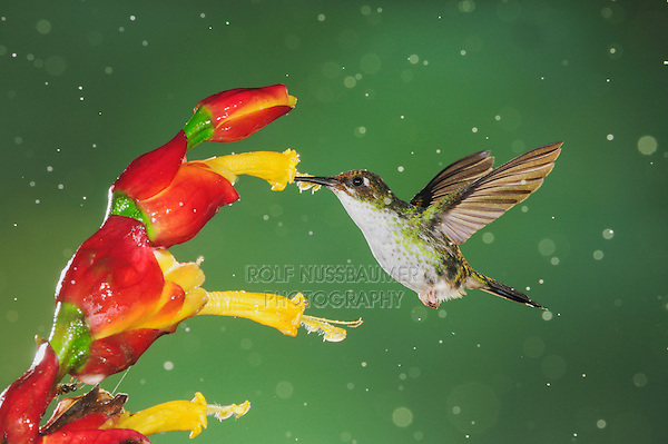 Booted Racket-tail (Ocreatus underwoodii), female feeding from Ginger flower,Mindo, Ecuador, Andes, South America