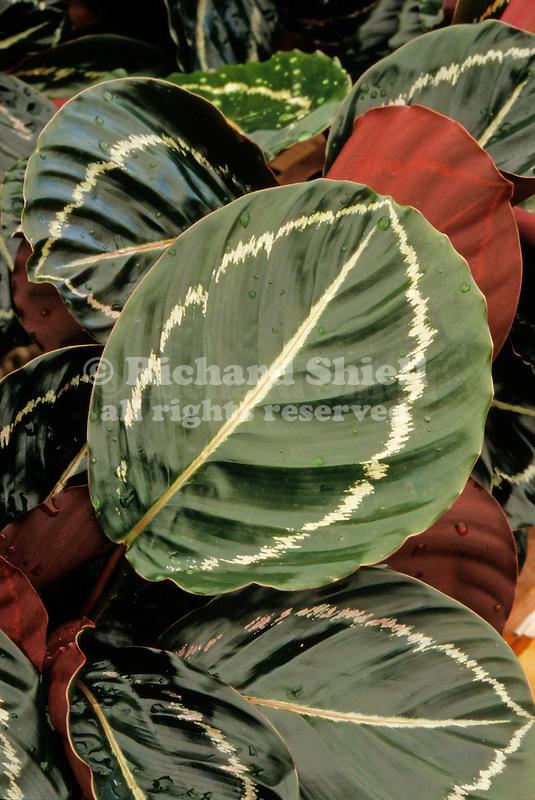 17297-CU Calathea, houseplant, Calathea roseopicta tender perennial from Brazil, in April at Santa Paula, CA USA