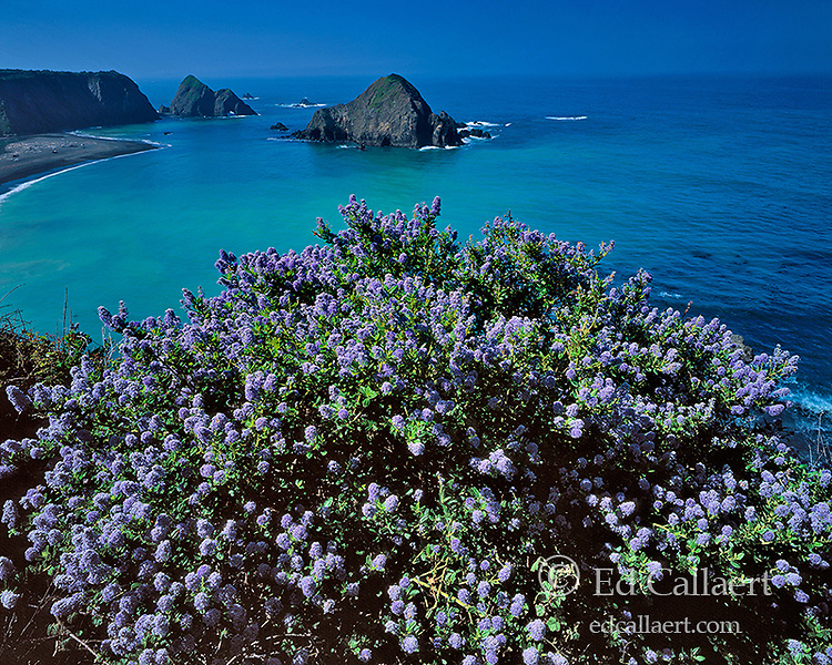 California Lilac, Greenwood Cove State Park, Town of Elk, Mendocino County Coast, California