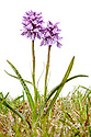 Heath Spotted Orchid {Dactylorhiza maculata} flowering in meadow, photographd against white background. Isle of Mull, Scotland. June.