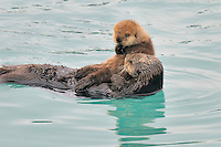 Alaskan or Northern Sea Otter (Enhydra lutris) mom with young pup.  Alaska.