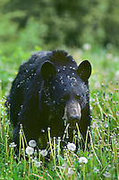 Black bear (Ursus americanus) eating dandelions.  Northern Rockies.  June.