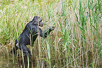 Bonobo (Pan paniscus), adult, feeding on reeds in water, captive