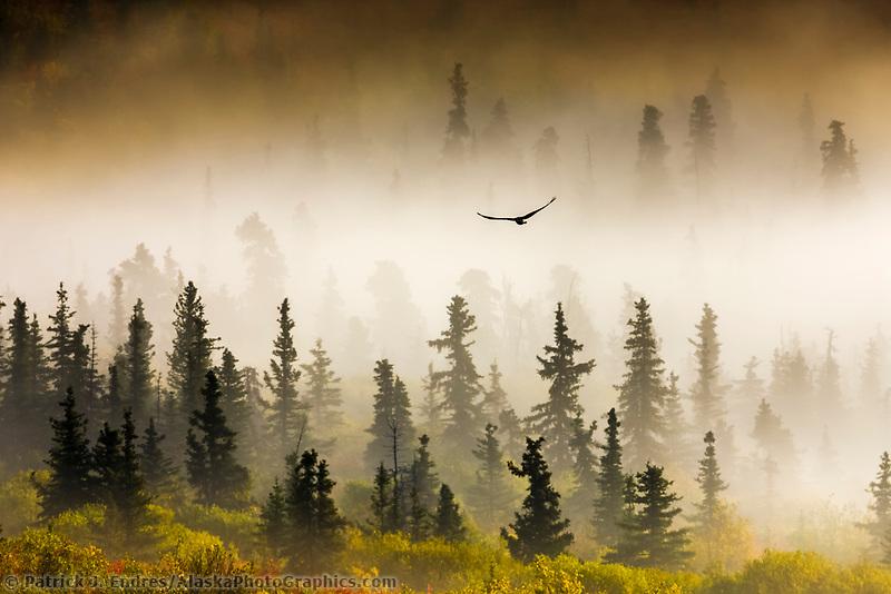 Raven flies through spruce trees in the morning fog, Denali National Park, Interior, Alaska.