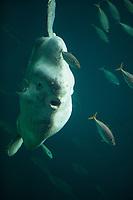 Mondfisch, Mond-Fisch, Klumpfisch, Mola mola, Sunfish, ocean sunfish, Klumpfisk, common mola, La môle, la poisson-lune