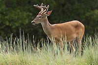 Texas Whitetail