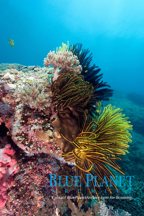 feather stars and soft coral, Apo Island, Philippines, Pacific Ocean