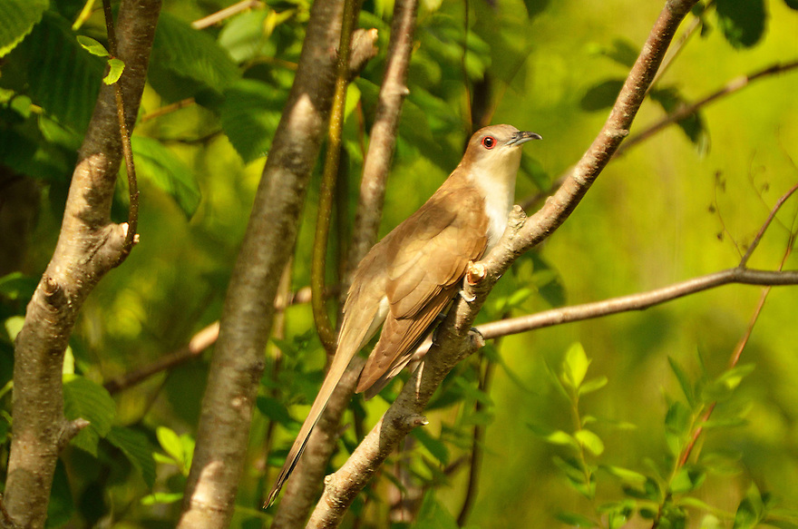 The Black-billed Cuckoo is fairly common yet rarely seen, feeding on caterpillars in dense thickets and undergrowth. This bird posed for me while I was birding for spring warblers, (a life species for me) and I'm thrilled to have made a photo !
