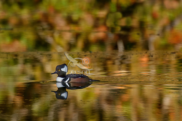 Male Hooded Merganser (Lophodytes cucullatus) in old beaver pond along Hoh River, Olympic National Park, WA.<br /> Late Fall.