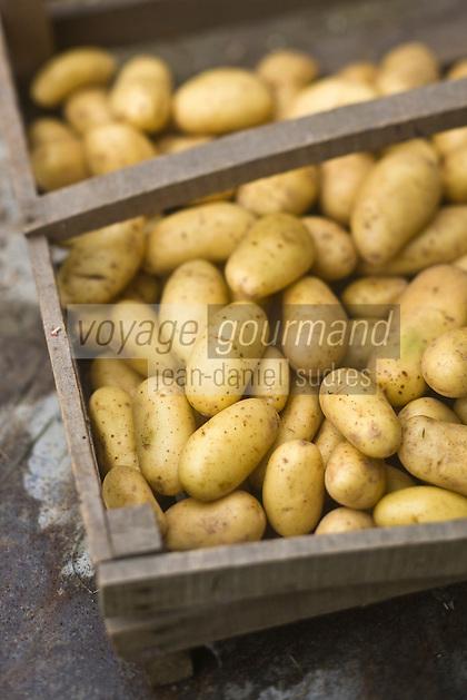 Europe/France/Picardie/80/Somme/Baie de Somme/ Pommes de Terre Juliette des Sables de la Baie de Somme