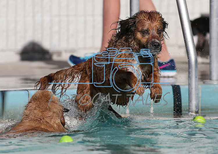 Dogs play at at the seventh annual Pooch Plunge at the Carson City Aquatic Facility in Carson City, Nev., on Saturday, Sept. 26, 2015.  <br /> Photo by Cathleen Allison
