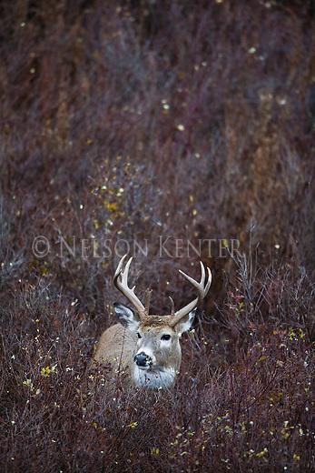 Whitetail buck in brush in Montana
