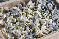 Kirschblüten, Kräuterernte, Blüten von Vogelkirsche werden gesammelt und getrocknet, Vogel-Kirsche, Kirsche, Süß-Kirsche, Süss-Kirsche, Süsskirsche, Süßkirsche, Wildkirsche, Wild-Kirsche, Kirschblüte, Blüte, Prunus avium, Gean, Mazzard, Wild Cherry, Le merisier, cerisier des oiseaux