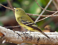 Adult yellow-bellied flycatcher