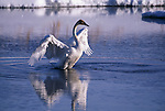 Trumpeter swan rose up out of water