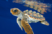 loggerhead turtle, Caretta caretta, hatchling, swimming in open ocean, Bahamas, Caribbean Sea, Atlantic Ocean