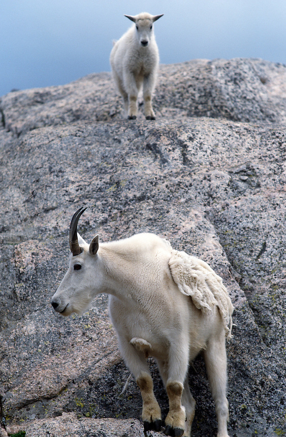 Mother and kid mountain goats on Mt. Evans, Colorado, USA