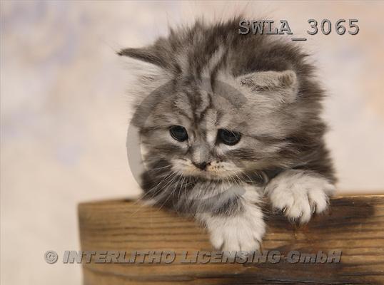 Carl, ANIMALS, photos, grey kitten(SWLA3065,#A#) Katzen, gatos