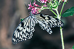 rice paper butterfly feeding on red flower upside down winges extended