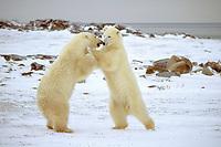 Polar bears sparring, Ursus maritimus, Churchill, Manitoba, Canada, Arctic, polar bear, Ursus maritimus
