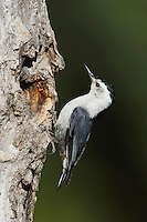 White-breasted Nuthatch, Sitta carolinensis,adult male at nesting cavity in aspen tree, Rocky Mountain National Park, Colorado, USA, June 2007