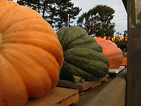 Giant pumpkins, up to 1,000 pounds, on the truck and about to be unloaded - about to be a main attraction at Pumpkin Depot in Half Moon Bay.