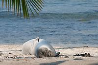 Hawaiian monk seal, Neomonachus schauinslandi( Critically Endangered ), 2.5 year old male snoozes on the beach under a palm tree, Pu'uhonua o Honaunau ( City of Refuge ) National Historical Park, Kona, Big Island, Hawaii, USA, Pacific Ocean