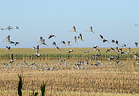 GERMANY, Ruegen, crane on maize field in autumn / DEUTSCHLAND, Ruegen, Sagard, Kraniche auf Maisfeld im Herbst