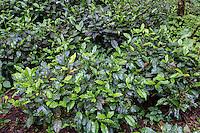 Peru, Machu Picchu Pueblo.  New Growth on Camellia Sinensis Tea Bushes.