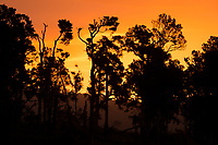 Totara, native trees in summer sunset, South Westland, West Coast, New Zealand, NZ