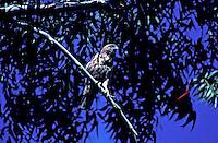 A black and white I'o, or Hawaiian Hawk, sacred as an aumakua in Hawaiian culture, perches on a tree branch. Species name: buteo solitarius.