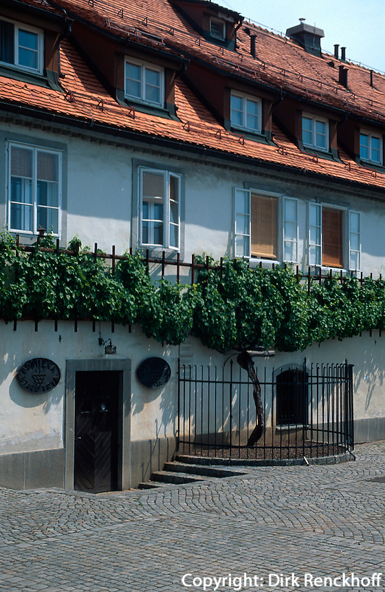 Slowenien, Maribor, alte Weinrebe.