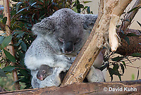 0802-1013  Koala with Young, 6 month old Joey that Just Emerged from Pouch within One Day, Phascolarctos cinereus © David Kuhn/Dwight Kuhn Photography