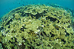 Munda, Western Province, Solomon Islands; a large colony of acropora sp. corals growing on the reef in shallow blue water with an aggregation of fish swimming overhead