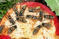 Gemeine Wespe, Gewöhnliche Wespe, Wespen an Fallobst, Obst, Apfel, Vespula vulgaris, Paravespula vulgaris, common wasp, yellowjacket