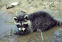 MA25-014z   Raccoon - young raccoon exploring stream - Procyon lotor