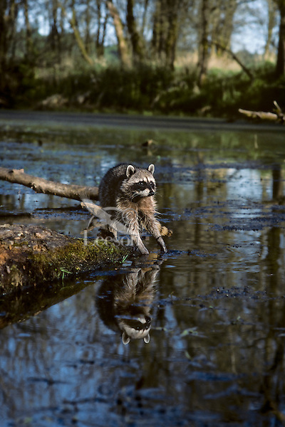 Raccoon feeling with front feet for food in water.  Pacific Northwest.