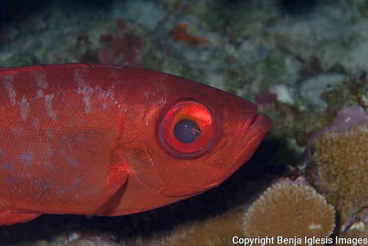 Close up shot of the face of a bigeye Molokini Maui Hawaii.