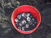leatherback sea turtle eggs, Dermochelys coriacea, Dominica, Caribbean, Atlantic