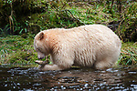 Adult Spirit / Kermode Bear (Ursus americanus kermodei) - white morph of the Black bear- by stream fishing for salmon. Gribbell Island, Great Bear Rainforest, British Columbia, Canada, October.