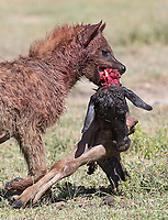 A spotted hyena holds onto the remains of a wildebeest calf.
