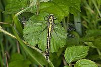 Gemeine Keiljungfer, Gomphus vulgatissimus, club-tailed dragonfly, Flußjungfer, Flussjungfer, Gomphidae