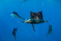 Atlantic sailfish, Istiophorus albicans, with sardine in mouth, taken from a bait ball of Spanish sardines (aka gilt sardine, pilchard, or round sardinella), Sardinella aurita, under attack by cooperatively hunting sailfish, off Yucatan Peninsula, Mexico (Caribbean Sea)
