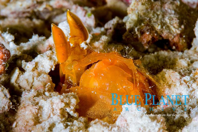 orange spearing mantis shrimp, Lysiosquilla sp., Wakatobi, Indonesia, Pacific Ocean
