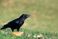 BL04-008z  Crow - Corvus brachyrhynchos